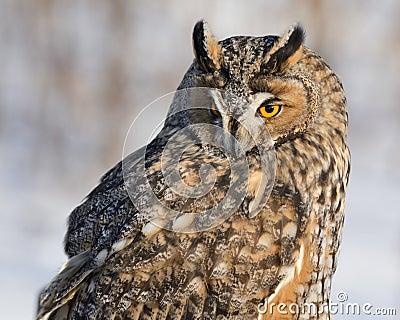 长耳朵猫头鹰