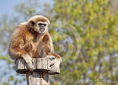 长臂猿家神