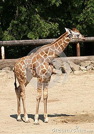长颈鹿年轻人动物园