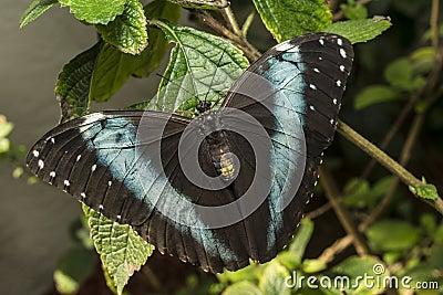 阿奇里斯Morpho,青被结合的Morpho蝴蝶