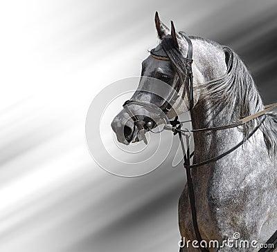 阿拉伯人起斑纹灰色马