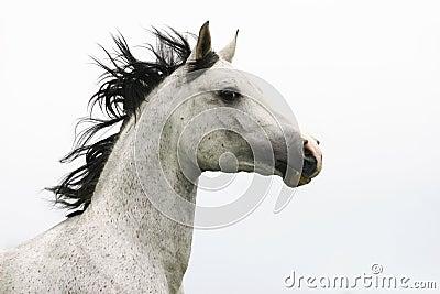 阿拉伯公马