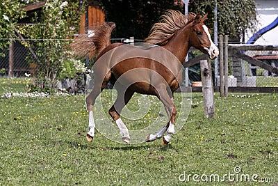 阿拉伯疾驰的公马