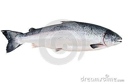 阿拉斯加的大马哈鱼