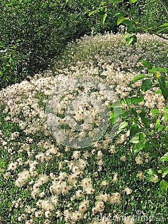 阿拉斯加的羊胡子草
