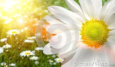 雏菊域大被日光照射了