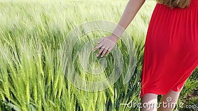 青年女性在大麦或三角麦田上刷手 影视素材