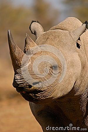 非洲南黑色的犀牛