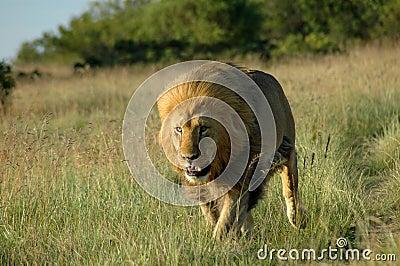 非洲掠食性动物
