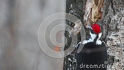 顶头砰然作响物Pileated啄木鸟,寻找快餐 影视素材