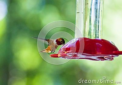 饮用的蜂鸟