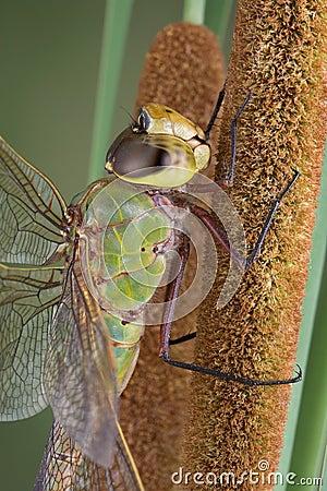 蜻蜓姬的大�_香蒲蜻蜓