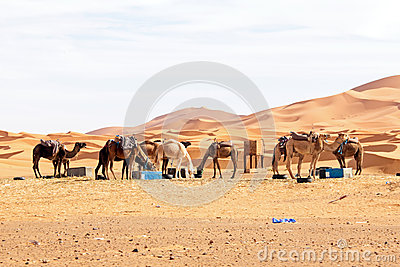 骆驼在沙漠