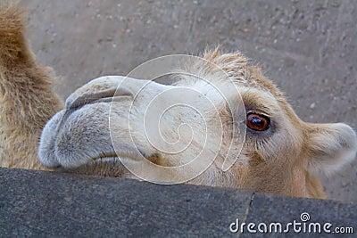 骆驼有几层眼睫�_骆驼接近的眼睛拍摄了哀伤.