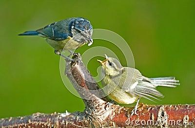 鸟山雀提供的王储蓝色生财有道雏鸟养黄粉虫图片