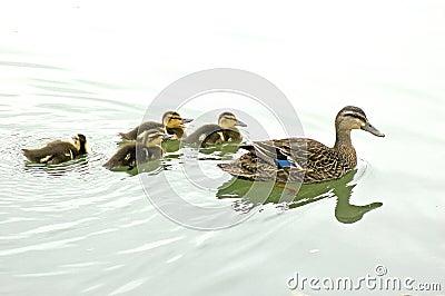 鸭子女性野鸭