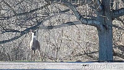 鹿在Grandview国家公园,狂放的美妙的WV 股票录像