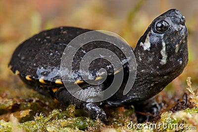 麝香蜗牛有没有没有毒的乌龟图片