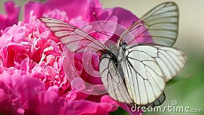 黑色成脉络的白色蝴蝶