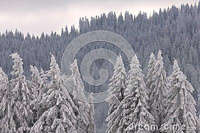 黑色feldberg森林德国