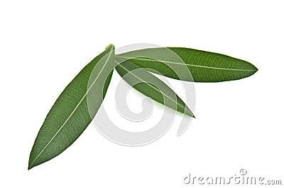 橄榄叶子 图库摄影 - 图片图片