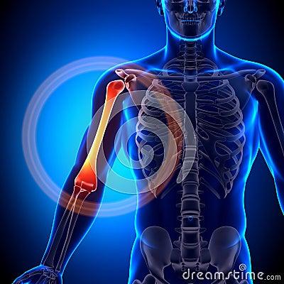 肱骨/胳膊解剖学-解剖学骨头图片