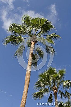 δέντρα παραδείσου φοινι&kap
