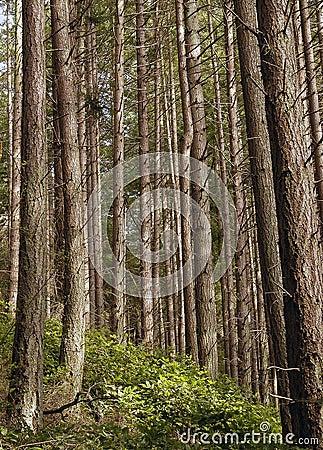 δασικά δέντρα πεύκων
