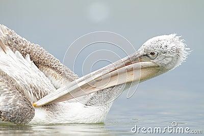 Далматинский пеликан