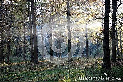 древесина дуба