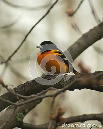 巴尔的摩galbula黄疸金莺类