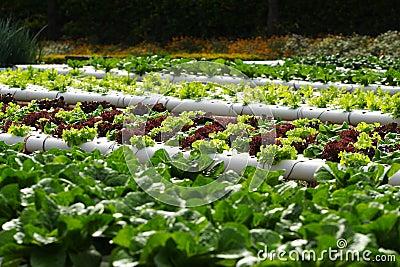 mr: no pr: no 4 829 11 库存图片: 水栽法蔬菜 id 7567881 ©
