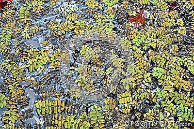 水生蕨类植物浮动的natans槐叶萍属