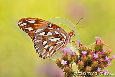 蝴蝶五颜六色的复制提供的nector空间.图片