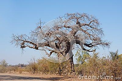 猴面包树结构树
