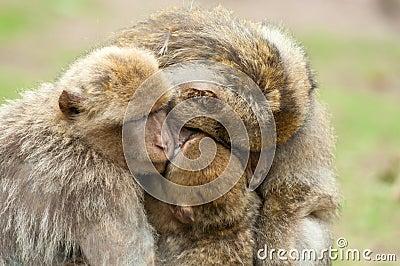 猴子为什么跟人�y.b9`�_免版税库存照片: 巴巴里人猴子