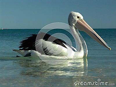 0002 pelican