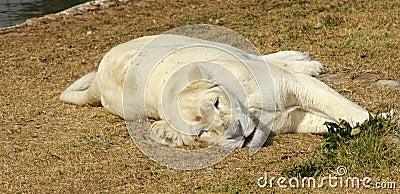 01只雌狮少见白色