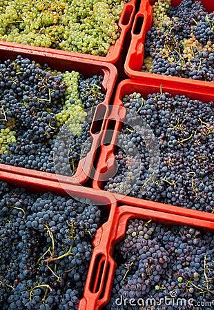 09个葡萄收获