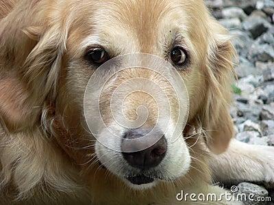 1只金毛猎犬
