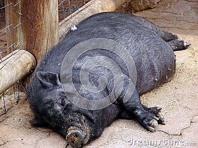 1 świnia śpi