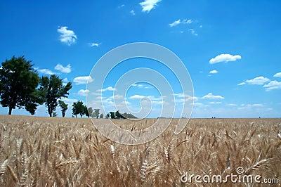 1 пшеница полей золотистая