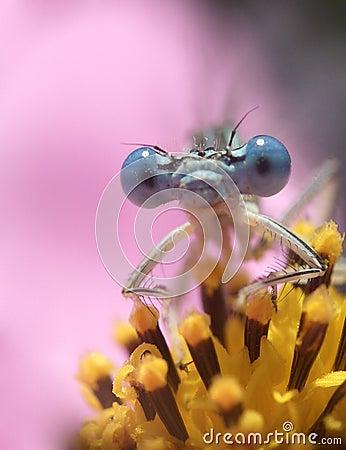 1 μύγα δράκων