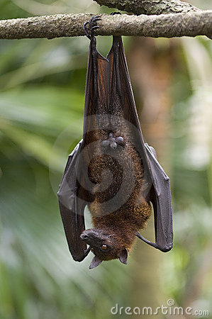 1 flying fox