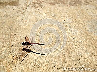 1 grunge dragonfly