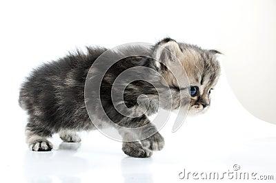 1 month old  Scottish straight kitten walking towards