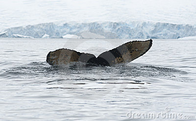 (1) nurkujący humpback ogonu wieloryb