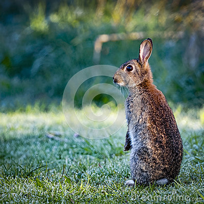 Free 1 Wild Common Rabbit (Oryctolagus Cuniculus) Sitting On Hind In A Meadow Surrounded By Grass And Dew Royalty Free Stock Images - 70088549