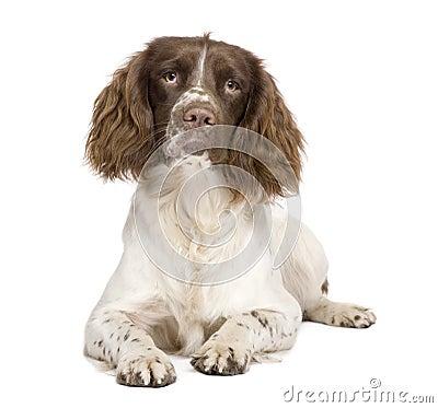 10个英国月西班牙猎狗蹦跳的人