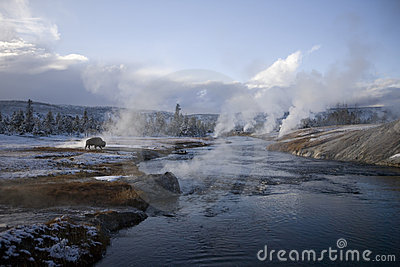 16 Yellowstone Geyser And A Buffalo Stock Photo - Image: 4925930